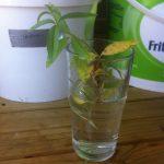citroenverbena stekken
